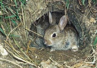 rumah teritorial kelinci