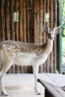 Hirsch - Tierpark Gera
