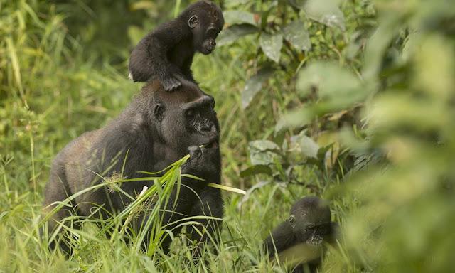 Gorilla twins of Dzanga-Sangha turn 2 years old