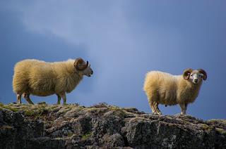 崖の上の羊
