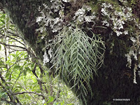 Spanish moss on tree - Mount Taranaki trail, New Zealand