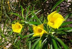 Yellow Oleander  (येल्लो ओलियंडर)