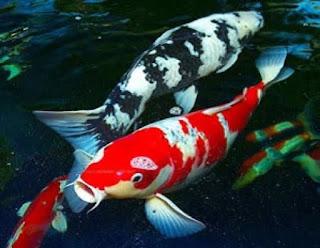 Daftar Toko Ikan Hias di Purwokerto Terlengkap Terbaru