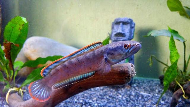 Ciri Ciri Ikan Toman