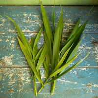 Ginger leaves have a less pungent ginger flavour and are commonly used as a spice.