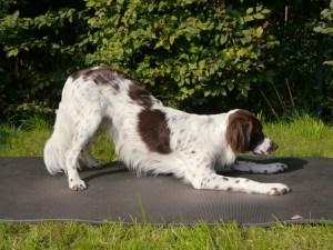 alongamento para cães