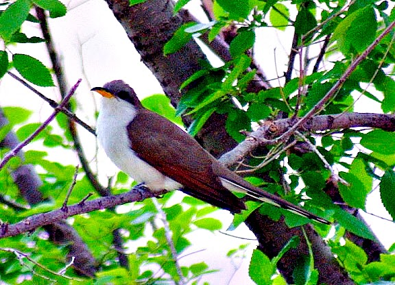 Dan Tallmans Bird Blog Yellow Billed Cuckoo