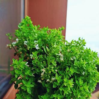 Fragrant Basil Herb,  Pot, Natural, Green