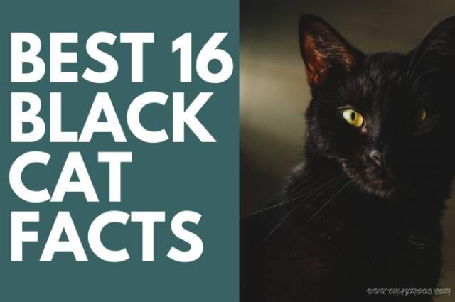 Best 16 Black Cat Facts