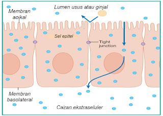 Tight junction memisahkan membran apikal dari membran basolateral sel epitel