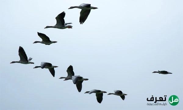 ما هي الطيور المهاجرة