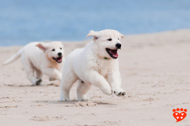 Two puppies having fun at the beach - but almost a third of puppies miss out on important socialization during the sensitive period