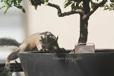"This is a photograph features another view of a squirrel about to jump into a container that is housing a shrub in my rooftop garden. My garden is the setting for my three volume book series, ""Words In Our Beak.""  (Info re the books is within a post on my blog @ https://www.thelastleafgardener.com/2018/10/one-sheet-book-series-info.html). Squirrels are not featured in  these books, but I have published info re them within other entries on this blog (@ https://www.thelastleafgardener.com/search?q=Squirrels)."