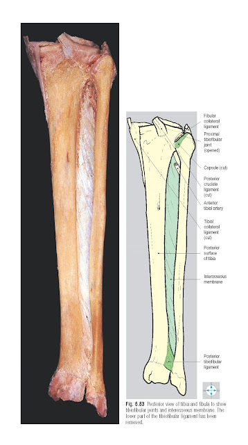 Tibiofibular Joints Anatomy