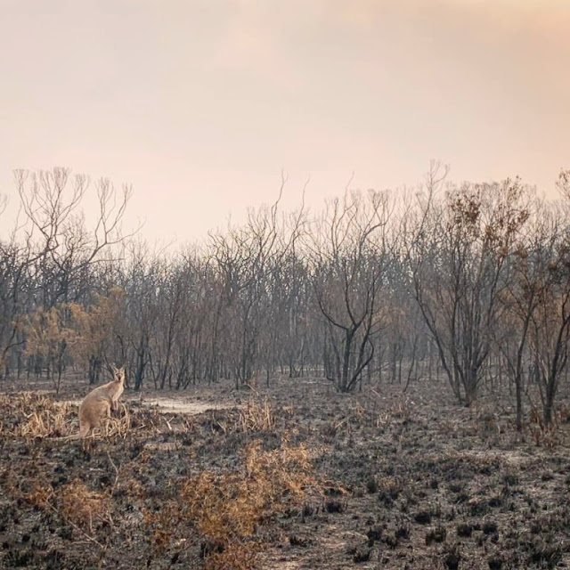 Wildlife ravaged by Australia fires could take decades to recover