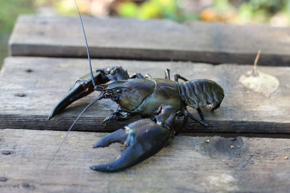 aprende ingles animal langosta cangrejo crawfish color azul gris