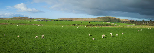 sheep and field