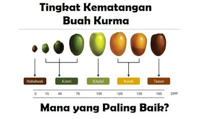 Gambar tingkat kematangan buah kurma