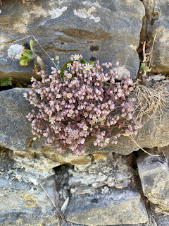 Sedum daspyphyllum in spring with flowers.