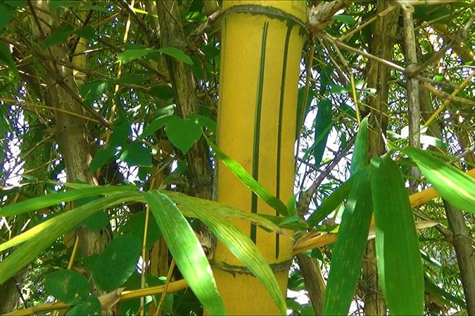 Dlium Golden bamboo (Bambusa vulgaris vittata)