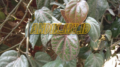foto, daun sirih merah, gambar daun sirih merah, daun sirih,