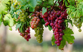 Health Benefits of Grapes in urdu