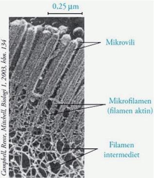 Mikrofilamen: Pengertian, Gambar, Struktur, Ciri-ciri dan Fungsi