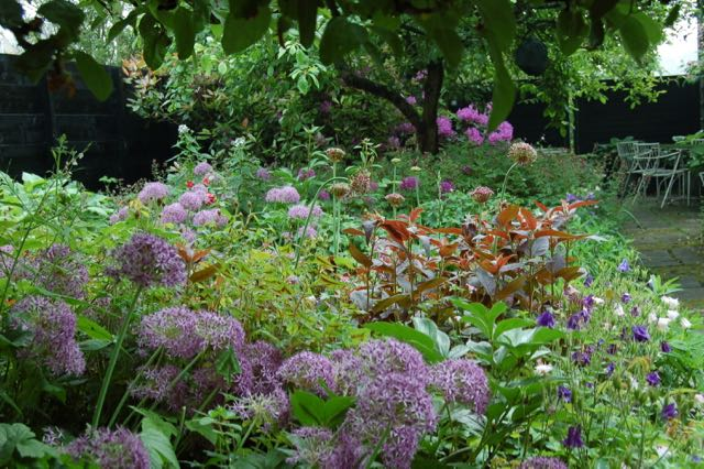 Allium in the border.