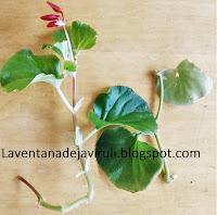 esqueje-begonia-semperflorens