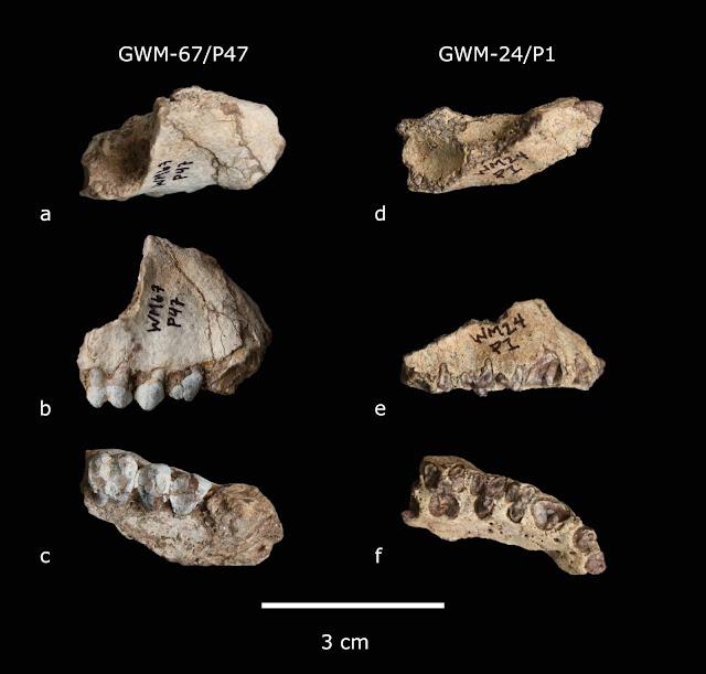 Two new extinct primate species found in the Ethiopia site of Gona