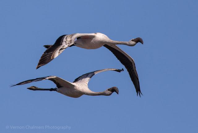 Juvenile lesser flamingos in flight - Woodbridge Island, Milnerton