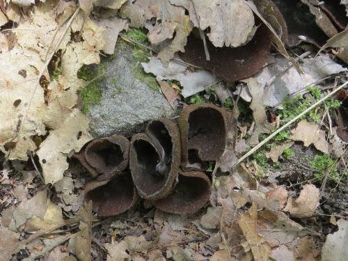 pig ears fungus