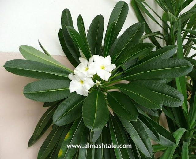 أزهار نخيل مدغشقر