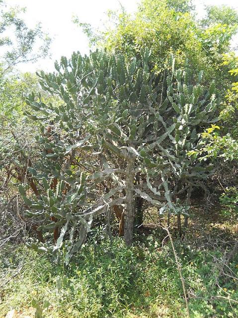 Cây Xương Rồng lâu năm - Euphorbia antiquorum - Nguyên liệu làm thuốc Chữa bệnh Mắt Tai Răng Họng
