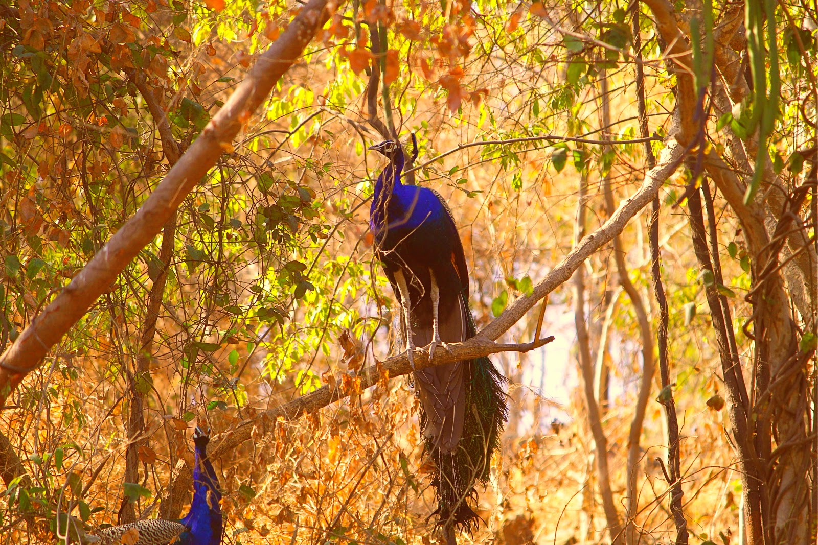 peafowls-in-forest-images