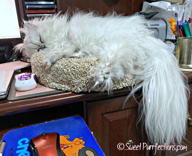 Silver shaded Persian, Truffle, sleeping in Desk Topper
