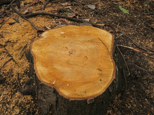 Stump of newly felled tree. Possibly cherry.