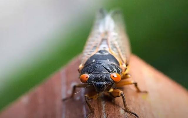 """حشرة الزيز """" Cicadas """""""