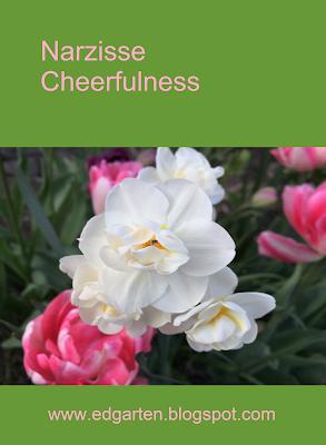 Pin Narzisse Cheerfulness