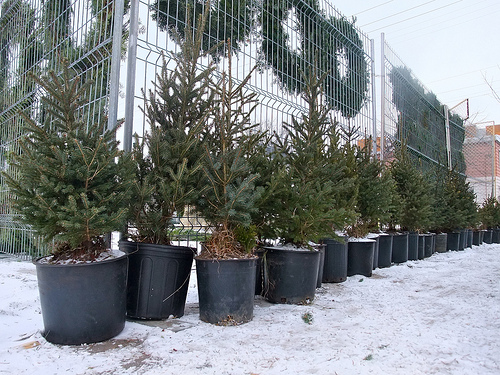 potted christmas trees waiting for their forever homes - Potted Christmas Tree