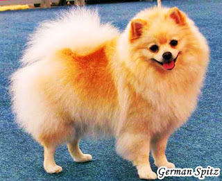 German Dog Breeds - German Spitz