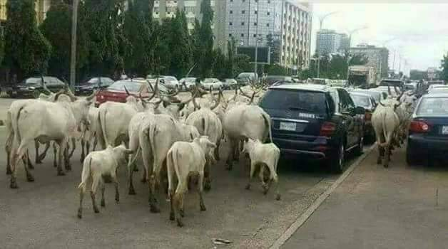 """Alt: = """"photo showing cattle moving on the road"""""""