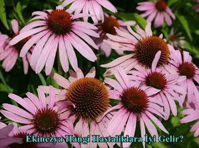 ekinezya bitkisi hangi hastaliklara iyi gelir