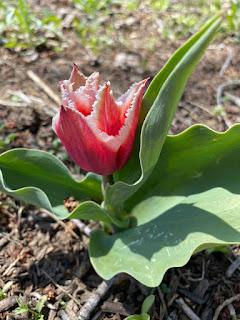 Santa Fringed Tulip