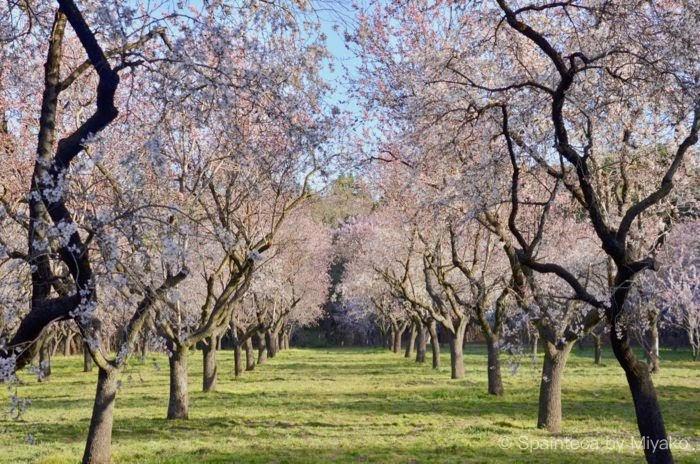 アーモンドのピンクの花が咲くマドリードでお花見できるキンタ・デ・ロス・モリノス公園