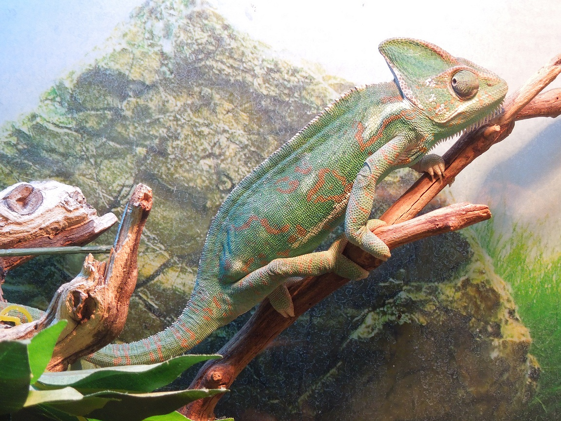 Reptiles Amphibians Amp Fish Yemens Chameleon Male