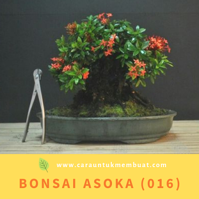 Bonsai Asoka (016)