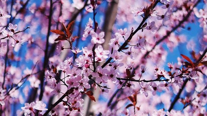 Lindas Flores Sakura Flor de Cerejeira Japão
