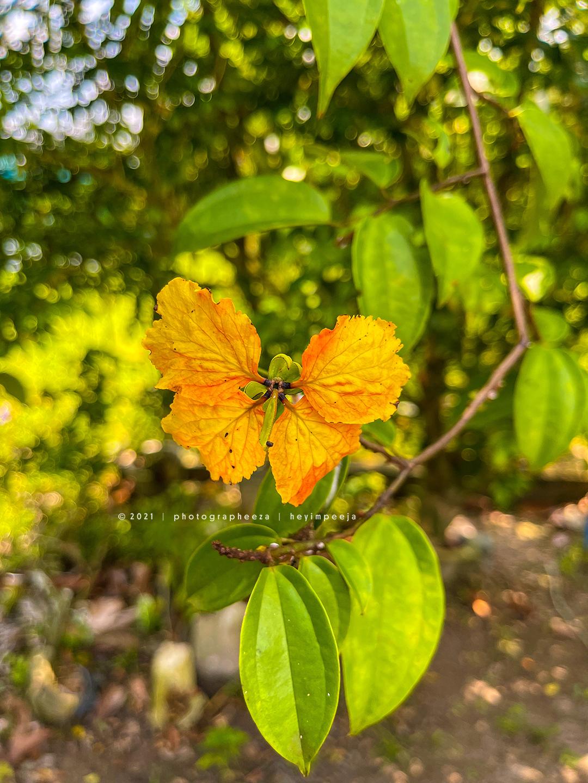Bunga Ketup Ketup- Bauhinia kockiana