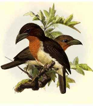 Babudo pardo Calorhamphus fuliginosus